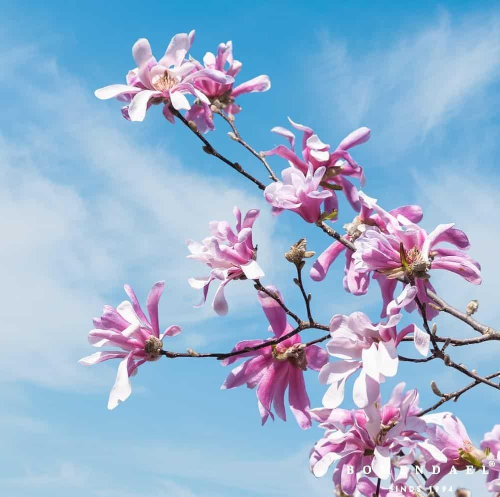 Magnolia loeb. 'Leonard Messel'