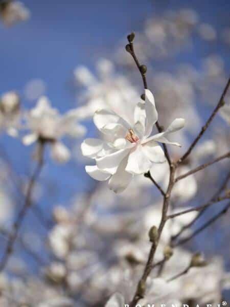 Magnolia loebneri 'Merill'
