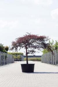 Acer palm. 'Garnet'