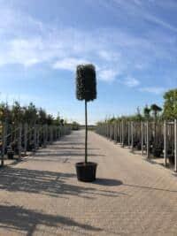 Cilinder-Quercus ilex