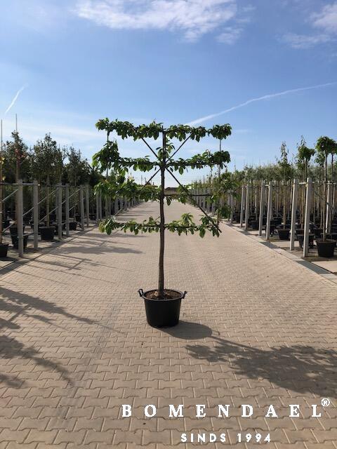 Kersenboom-Leivorm-Halfstam
