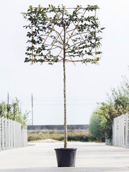 Leiboom-Carpinus betulus