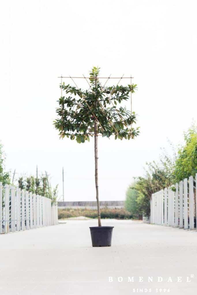 Prunus laur. 'Novita'
