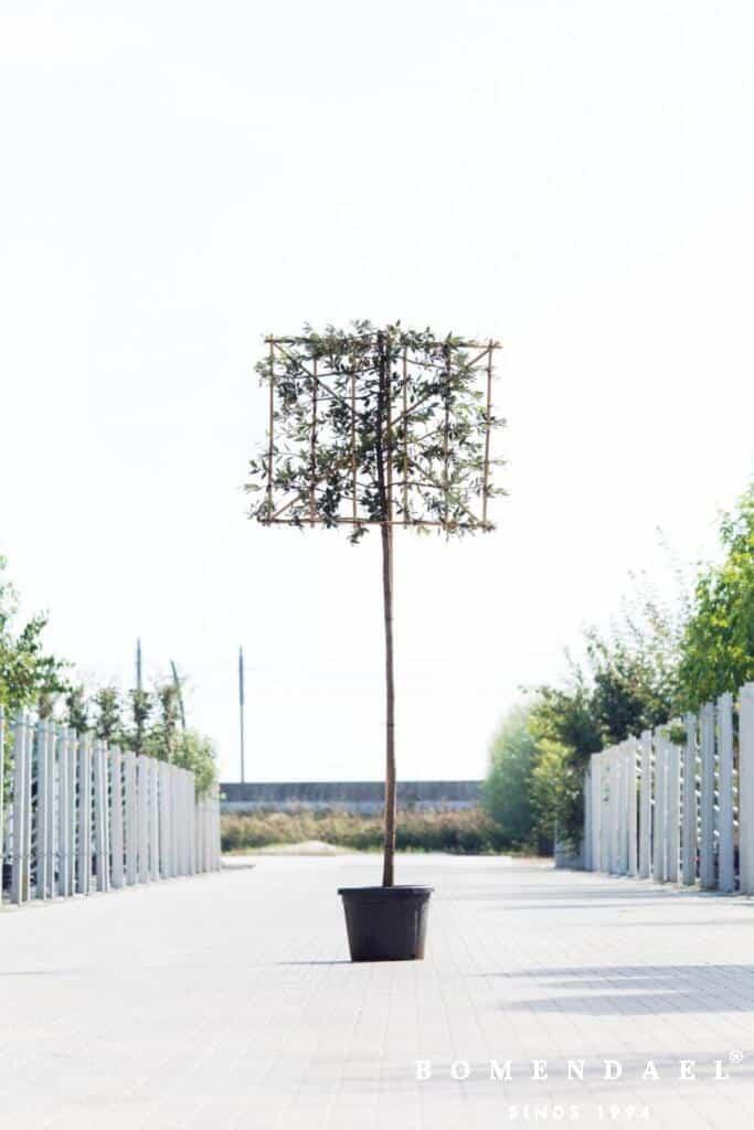 Leivorm-Quercus ilex