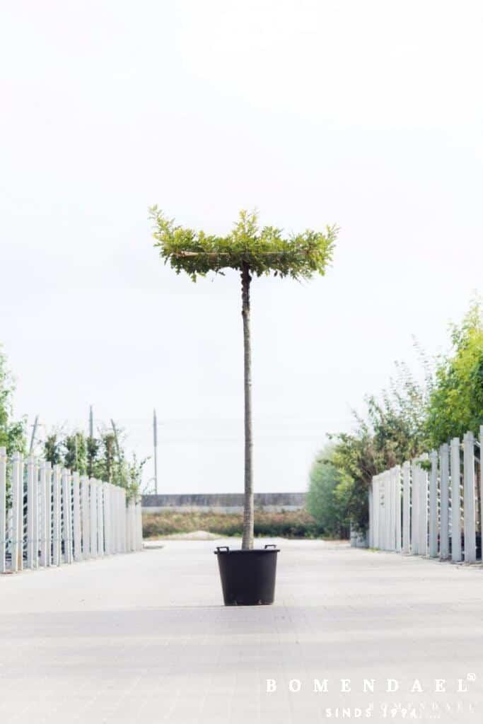 Moeraseik-Quercus palustris