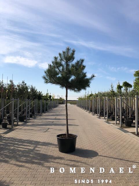 Oostenrijkse den-Pinus nigra nigra