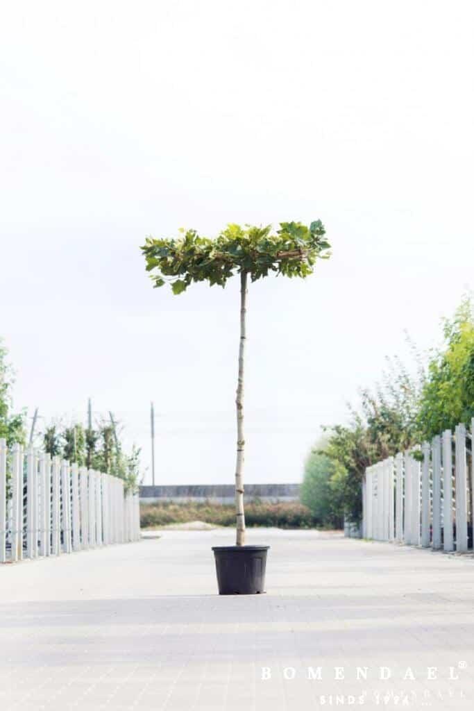 Plataan-Platanus acerifolia