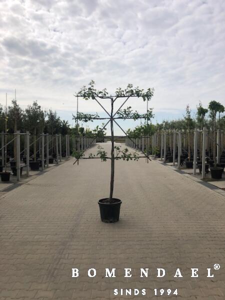 Pruimenboom-Leivorm-Halfstam