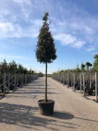 Pyramide-Quercus ilex