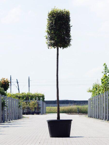 Quercus ilex Cilinder