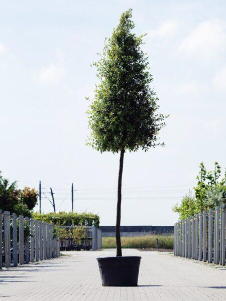 Quercus ilex Pyramide